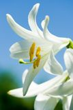White lily. Close-up of a white lily isolated against the blue sky Royalty Free Stock Photography
