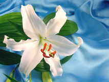 White lily. Romantic white lily lying on blue satin - horizontal version stock images