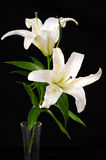 White lily. Isolated on black background Royalty Free Stock Photo