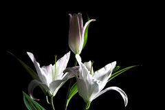 White lily. Isolated on the black background Stock Photos