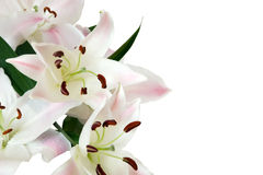 White lily. Isolated on white background Royalty Free Stock Image
