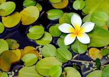White Lily. One White Lily amongst green lily pads in a pond Stock Images