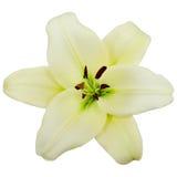 White lily Royalty Free Stock Photos