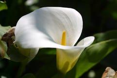 White lily. Horizontal shot of a white lily stock photo