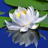 White lily on the lake Royalty Free Stock Photography