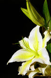 White lily alighting sunshine Royalty Free Stock Photos