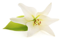White lily. Stock Images