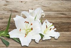 White lily on background of the old wooden fence Stock Image