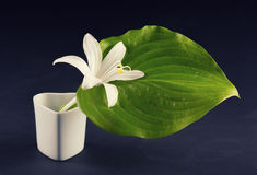 White lily Stock Image