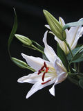 White Lily on Black Stock Images