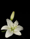 White lily on a black background. White lily isolated on a black background Royalty Free Stock Photography