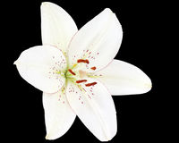 White lily on black background Stock Images