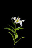 White lily on black background. White lily isolated on black background Royalty Free Stock Photo