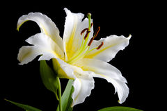 White lily on black background Royalty Free Stock Images