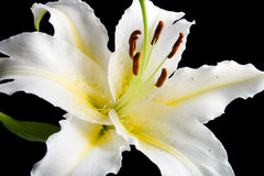 White lily on black background Stock Photography