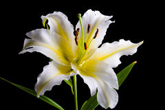 White lily on black background Stock Image