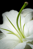 White lily on a black background. A close-up image of a beautiful single white lily isolated on a black background stock photography
