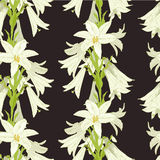 White lily on the black Stock Image