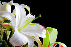 White lily on black background. White lily isolated on black background Royalty Free Stock Images