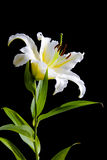 White lily on black background. White lily isolated on black background Stock Image