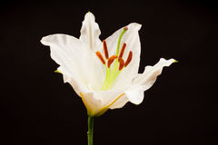 White Lily with black background Royalty Free Stock Photo