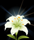 White lily with black background Stock Photo