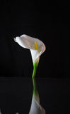 White Lily on black background Royalty Free Stock Photo