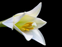 White Lily on a Black Background. A stunning White Lily on a black background not fully opened but showing the true breathtaking beauty it will impart on anyone stock image
