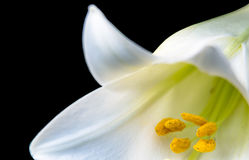 White Lily on a Black Background. A stunning White Lily on a black background not fully opened but showing the true breathtaking beauty it will impart on anyone royalty free stock image