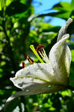 White lily bloom rain Royalty Free Stock Images