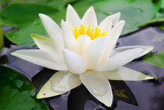 White lily blooming lake on the background of green leaves Royalty Free Stock Image