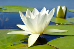 White lily blooming lake on the background of green leaves.  Royalty Free Stock Photo