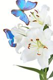 White lily and blue butterfly Stock Photo