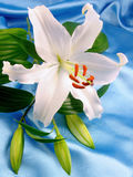 White lily on blue satin. Vertical version of the snap of lily on blue satin royalty free stock photos