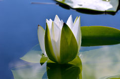 White lily in the blue water Royalty Free Stock Photo
