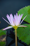 White lily in the blue water of the lake among the green leaves Stock Image