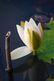 White lily in the blue water of the lake among the green leaves Royalty Free Stock Photo