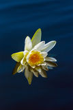White lily on a blue water Royalty Free Stock Photos