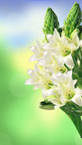 White lily bouquet over bright nature Royalty Free Stock Photos