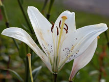 White lily bud Stock Images