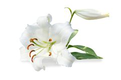 White lily and bud Stock Photo
