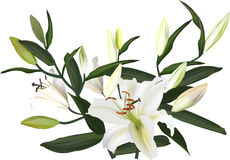 White lily bush with blooms and buds Stock Photography
