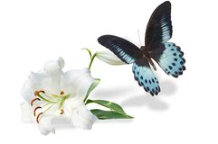White lily and butterfly Stock Photos
