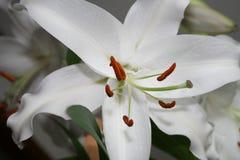 White lily in Casablanca. Canada, north America. White lily in Casablanca. Canada north America stock photo