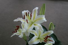 White lily in Casablanca. Canada, north America. Royalty Free Stock Photo