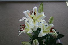 White lily in Casablanca. Canada, north America. Royalty Free Stock Photography