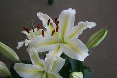 White lily in Casablanca. Canada, north America. Stock Image