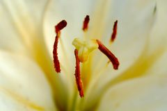White lily close-up Royalty Free Stock Images