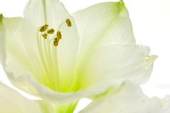 White lily close up. Macro close up of the inside of a white lily Royalty Free Stock Photo