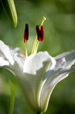 White lily, close up Royalty Free Stock Photography